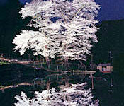 苗代桜(県指定天然記念物)